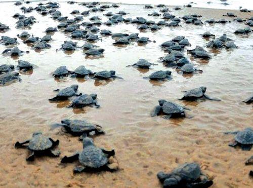 伊洛瓦底省加强海龟维护工作