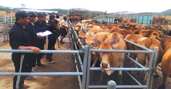 缅甸牛与水牛的对外贸易活动