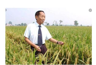 向水稻之父默哀(草蝶)