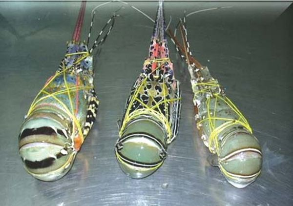 缅甸小龙虾行业出口情况