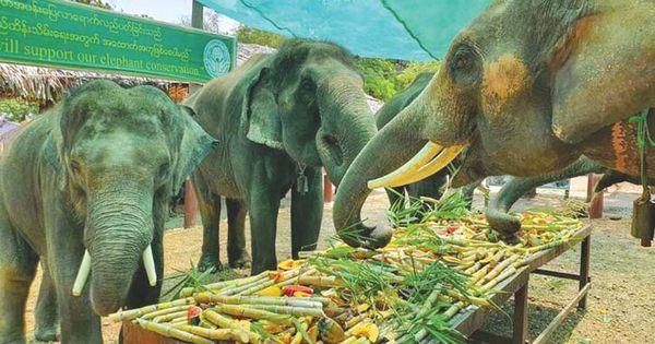 曼德勒省柏林江岸大象营地关闭期间民众多次举办大象自助餐活动