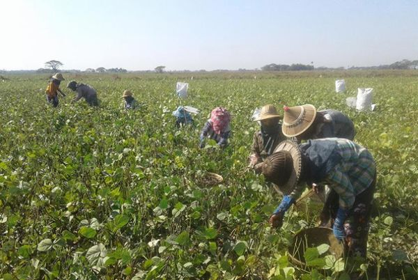 本财年前八个月缅甸已出口约150万吨豆类