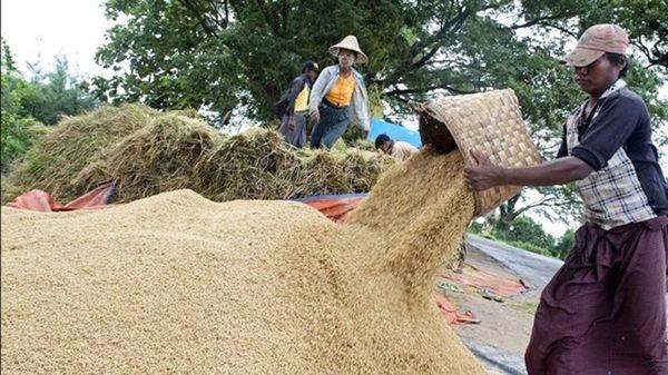 缅甸新规定的稻谷基本收购价与世界行情相比如何?