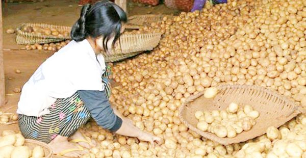 掸邦南部旺班地区生产的马铃薯畅销曼德勒地区