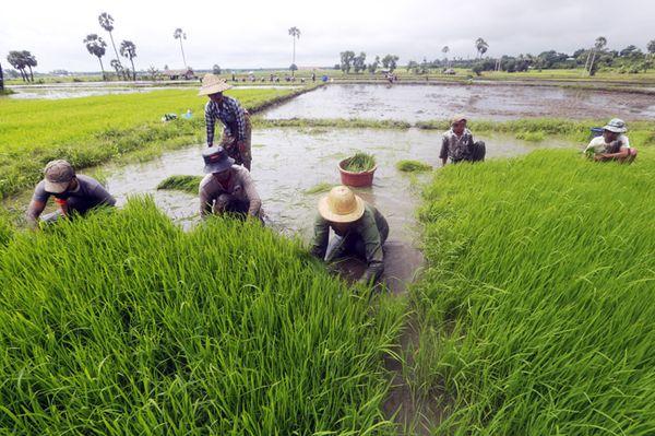 仰光省全年种植各种农作物220万英亩
