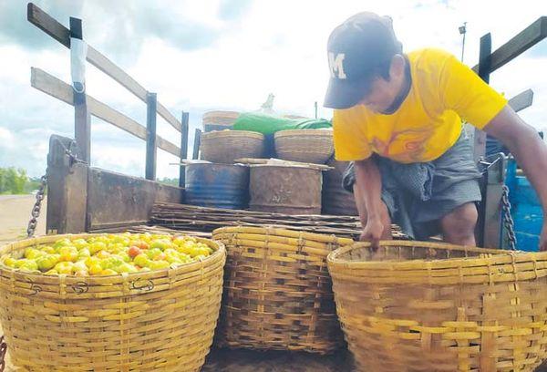 曼德勒省良吴县区番茄获得了好价钱